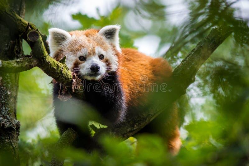 Panda rood portret stock afbeeldingen