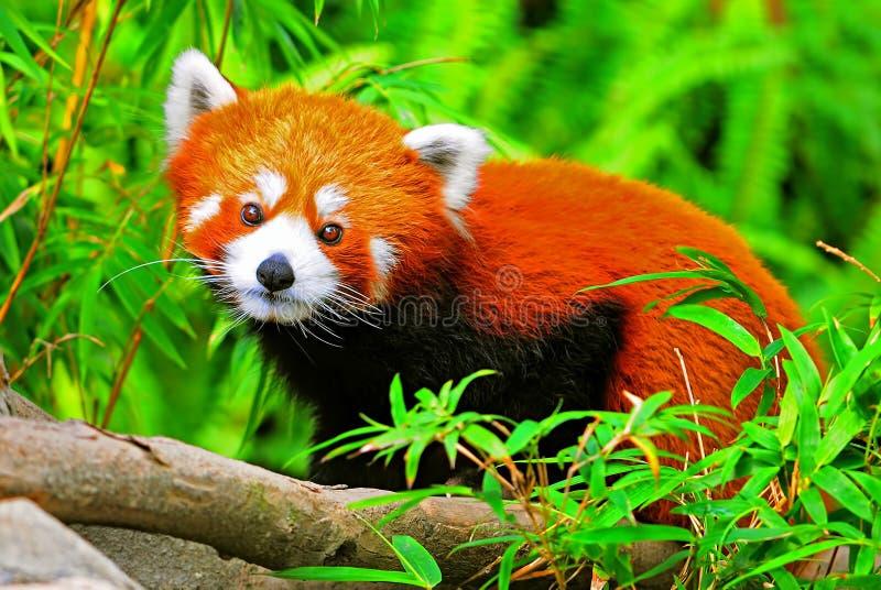 Panda rouge images stock