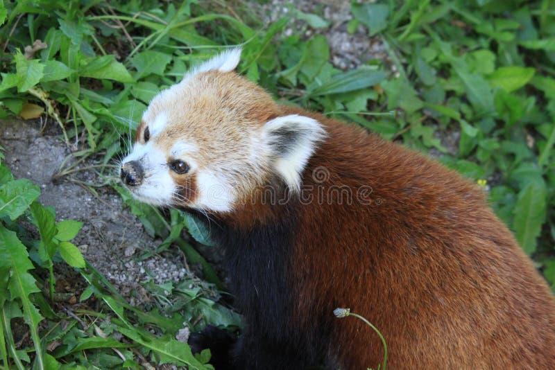 Panda rouge au zoo de Marwell photographie stock