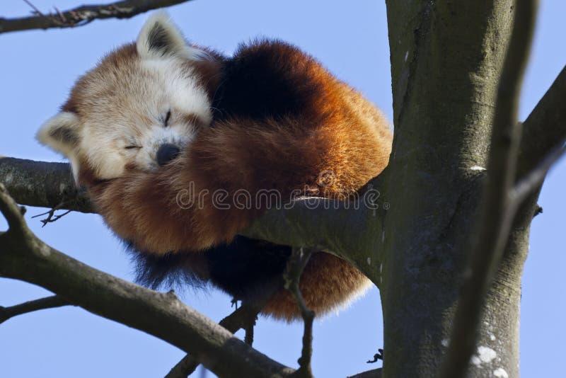 Panda rouge - Chine méridionale photo libre de droits
