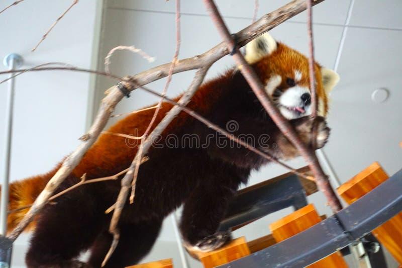 Panda rouge dans la neige dans le zoo de Sapporo Maruyama, Hokkaido Japon photo stock