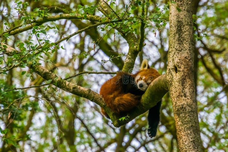 Panda rouge dormant haut dans un arbre, espèce animale mise en danger d'Asie images libres de droits