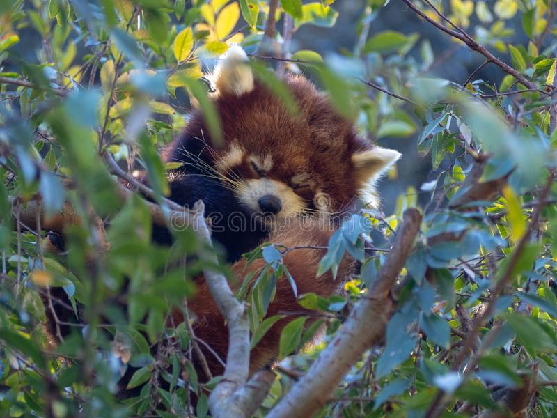 Panda rouge dormant sur un arbre photographie stock libre de droits