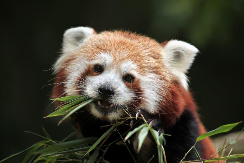 Panda rouge (fulgens d'Ailurus) images libres de droits
