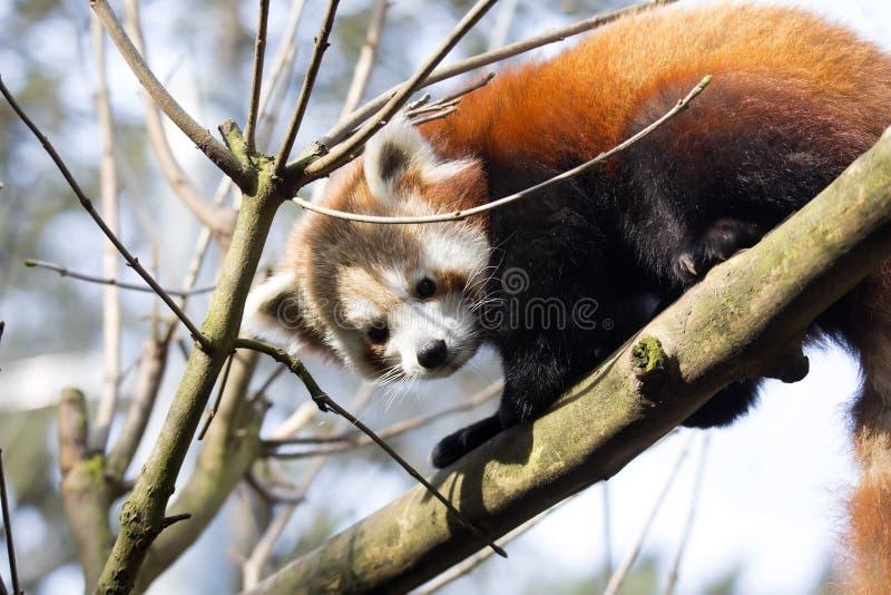 Panda rouge, fulgens d'Ailurus, montant les branches image stock