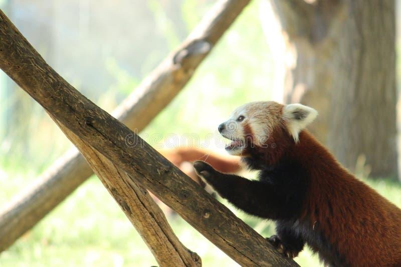 Panda rouge grimpant à un arbre photo stock