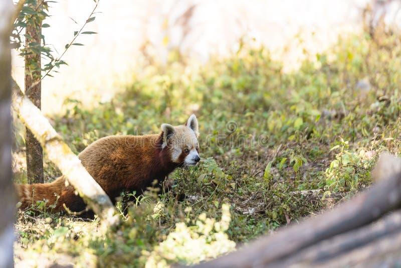 Panda rouge marchant au sol avec l'herbe en parc zoologique de l'Himalaya de Padmaja Naidu chez Darjeeling, Inde image libre de droits