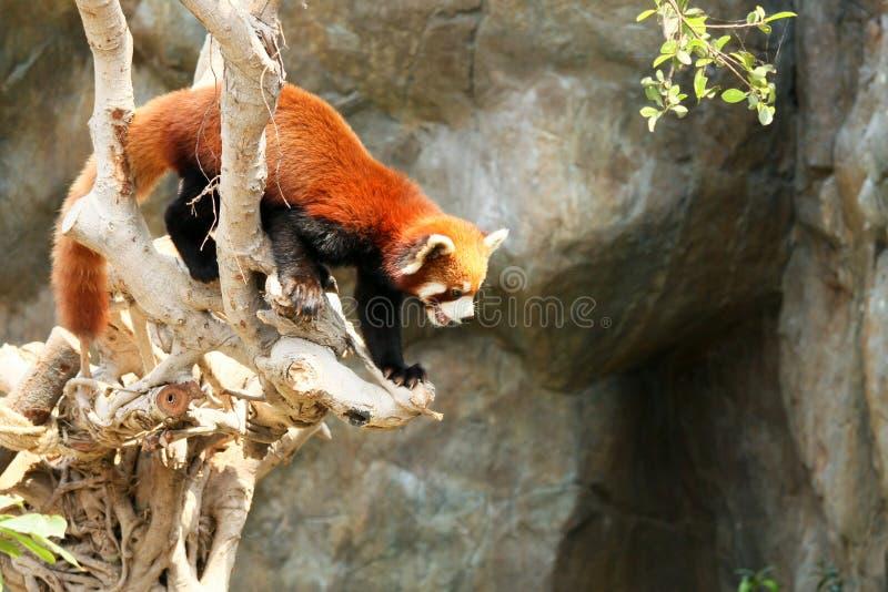 Panda rouge s'élevant sur l'arbre images stock
