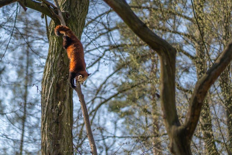 Panda rouge s'élevant vers le bas de l'arbre images stock