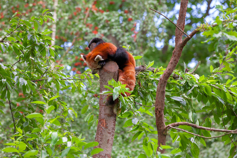Panda rouge seul se reposant dans un arbre photographie stock libre de droits