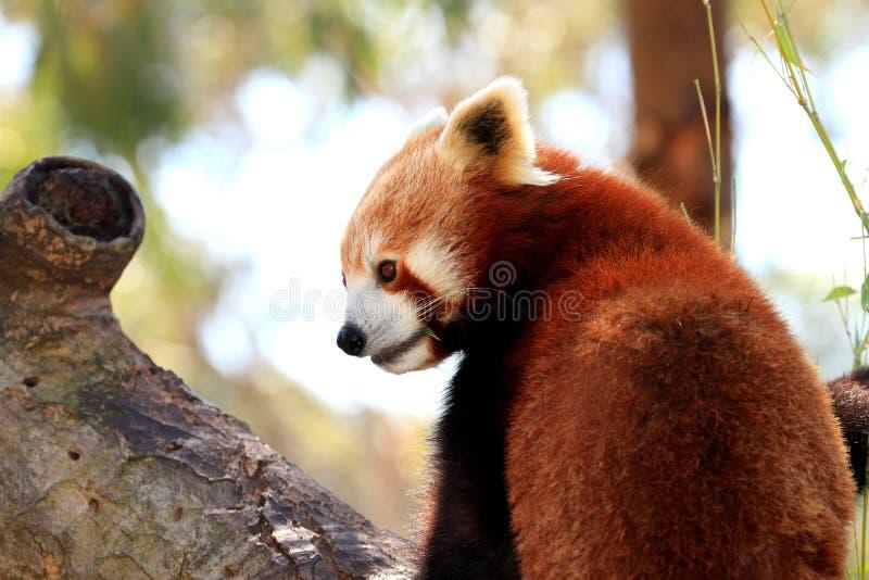 Panda rouge sur un branchement d'arbre image stock