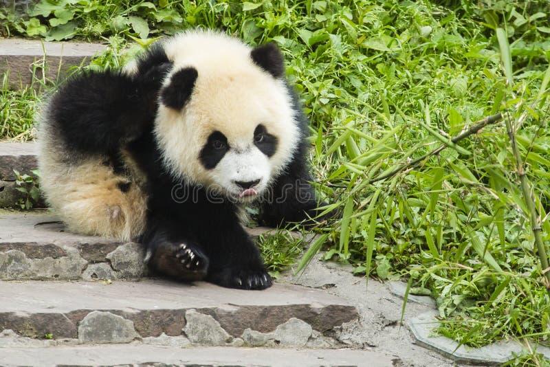 Panda sarnento do bebê imagens de stock