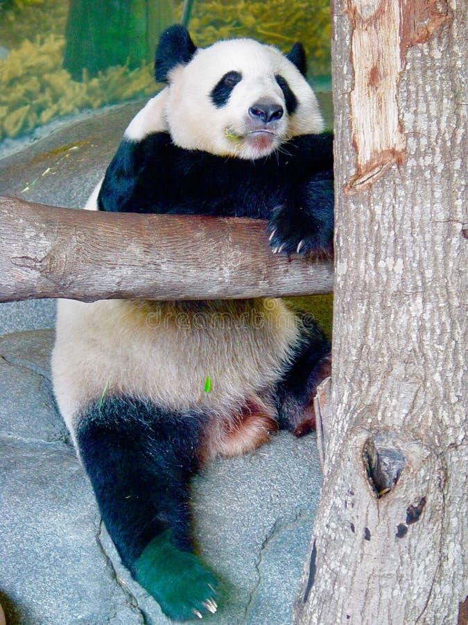 Panda Snooze lizenzfreies stockbild