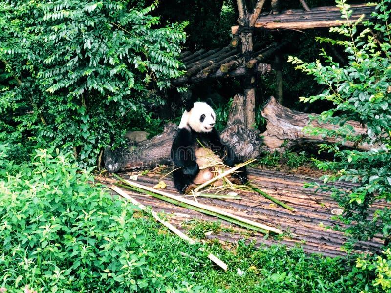 Panda som äter bambu från Chengdu arkivbild