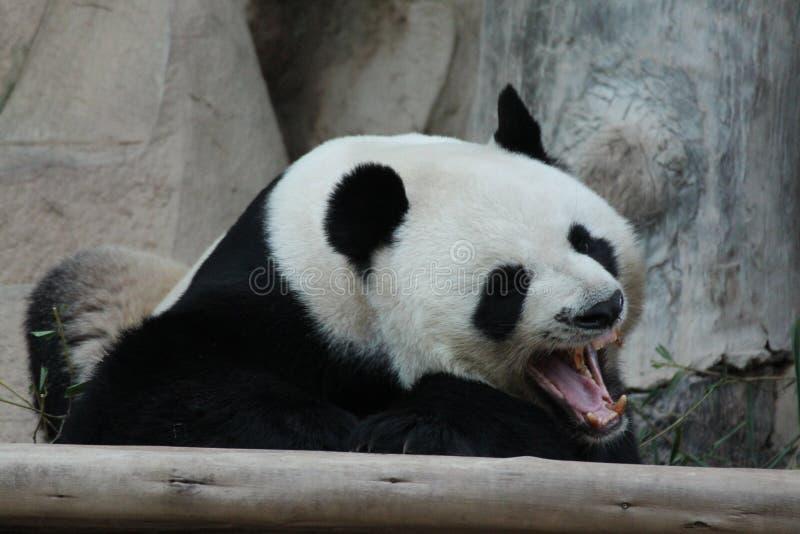 Panda in Thailand. A Male Panda is yawning royalty free stock image