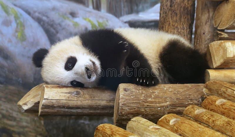 Panda At Toronto Zoo. Panda bear lying down on wooden log at the Toronto Zoo In Canada royalty free stock images