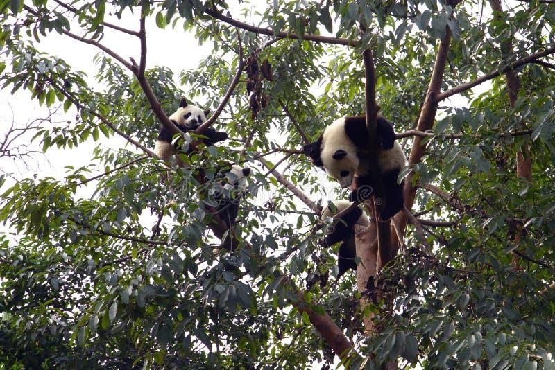 Cute panda on tree royalty free stock photos