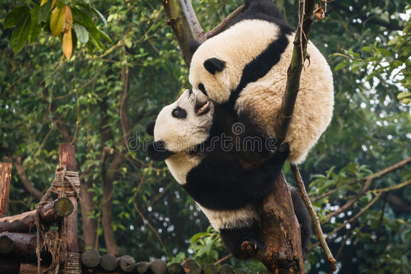Panda twee draagt welpen spelend bij Chengdu-Onderzoekbasis China royalty-vrije stock fotografie
