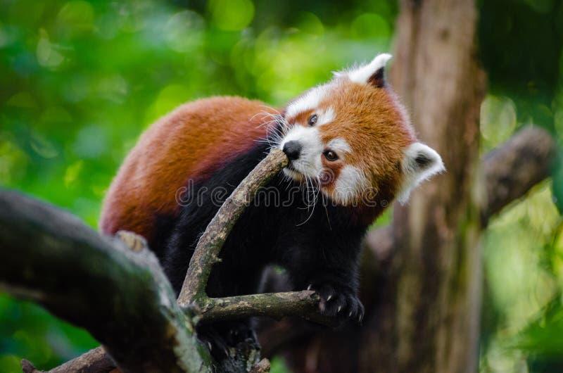 Panda Vermelha Domínio Público Cc0 Imagem