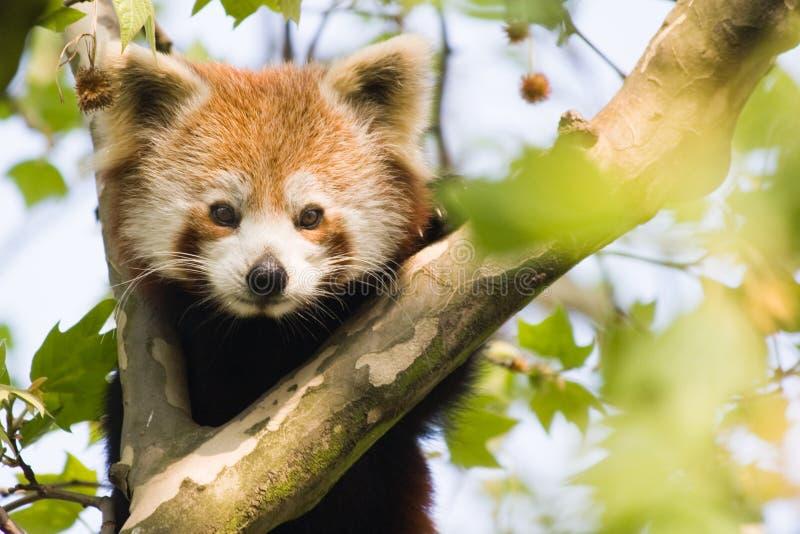 Panda vermelha curiosa foto de stock