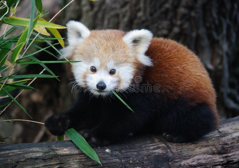 Panda vermelha do bebê fotos de stock royalty free