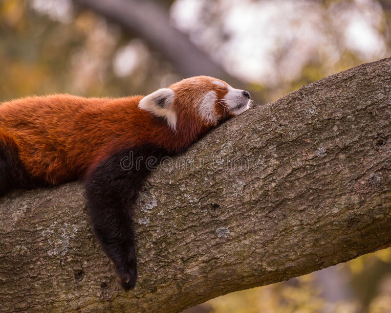 Download Panda vermelha do sono imagem de stock. Imagem de dormir - 65575253