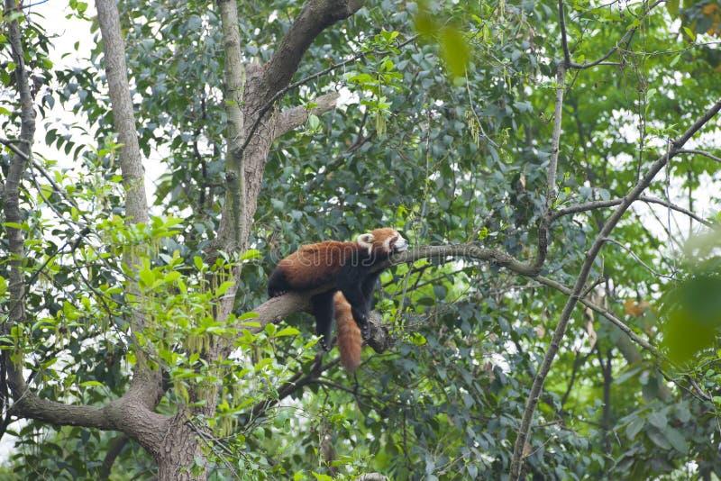 Panda vermelha do sono - panda pequena - em Chengdu imagens de stock royalty free