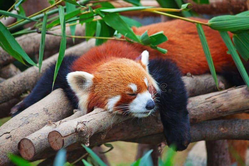 Panda vermelha (firefox) imagens de stock