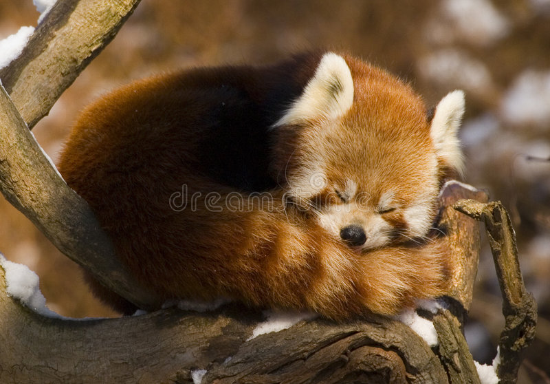 Panda vermelha (fulgens do Ailurus) imagem de stock royalty free