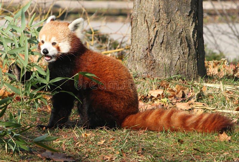 Panda vermelha masculina que mordisca no bambu foto de stock
