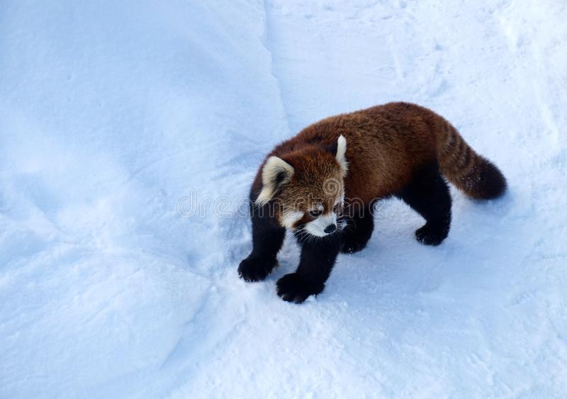 Panda vermelha na neve, jardim zoológico de Sapporo Maruyama, Hokkaido Japão foto de stock royalty free