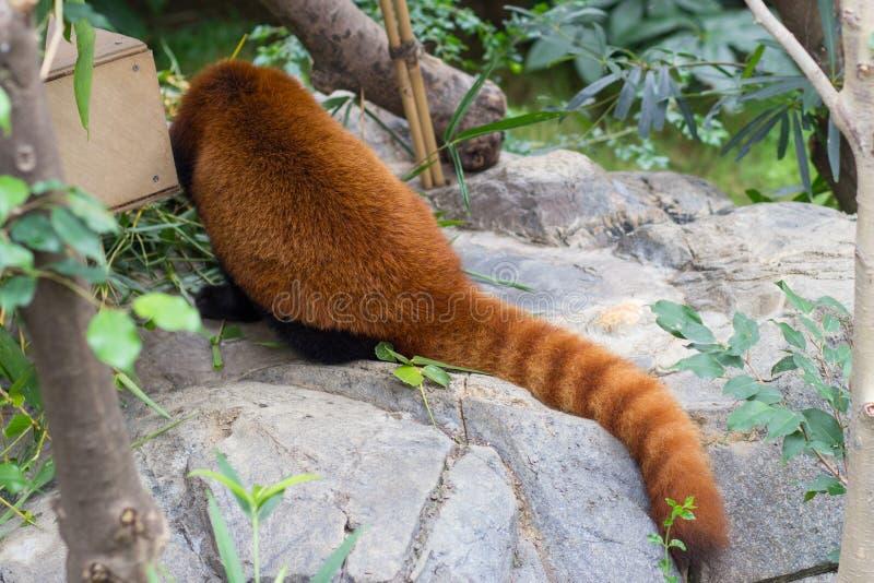 Panda vermelha ou Lesser Panda, Firefox que senta-se no ramo foto de stock