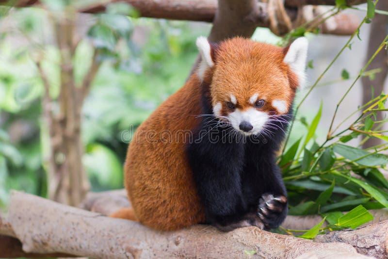 Panda vermelha ou Lesser Panda, Firefox que senta-se no ramo fotos de stock