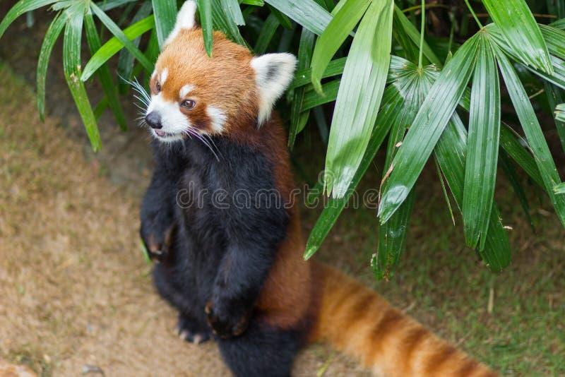 Panda vermelha ou Lesser Panda, Firefox que senta-se no ramo fotografia de stock