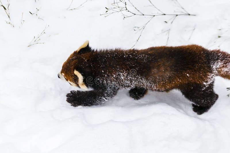 A panda vermelha ou pouca panda imagem de stock royalty free