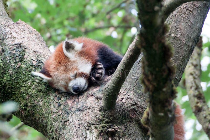 Panda vermelha que dorme em uma árvore imagens de stock