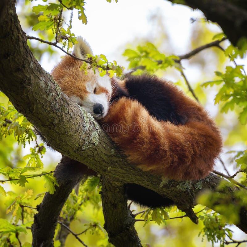 Panda vermelha que dorme em uma árvore foto de stock royalty free