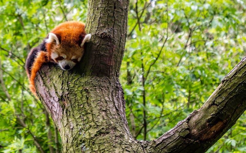 Panda vermelha que dorme em uma árvore no selvagem bonito poucos fulgens do Ailurus da panda fotos de stock royalty free