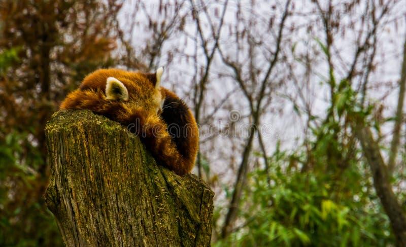Panda vermelha que dorme em uma parte superior stumped da árvore, specie animal posto em perigo de Ásia imagem de stock