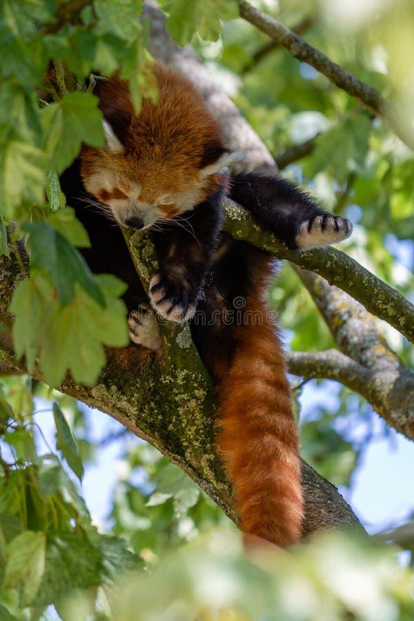 Panda vermelha que dorme na árvore imagens de stock royalty free