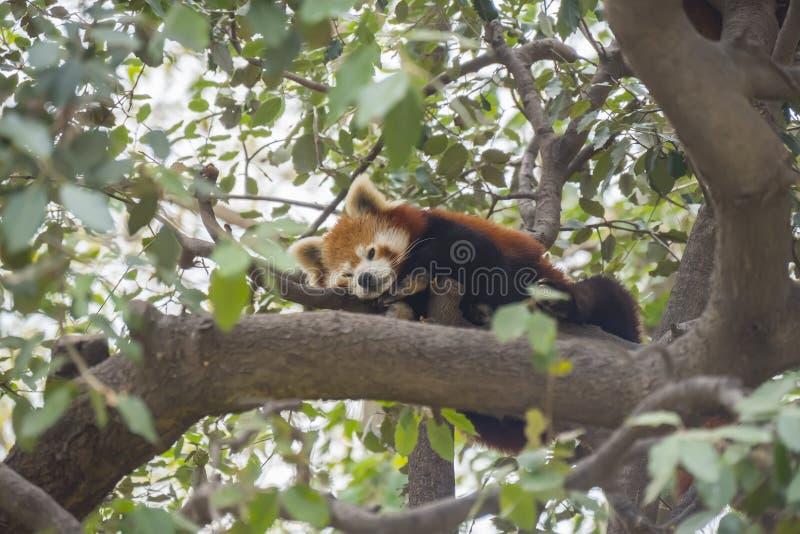 Panda vermelha que dorme nos ramos de uma árvore, fulgens do Ailurus imagem de stock