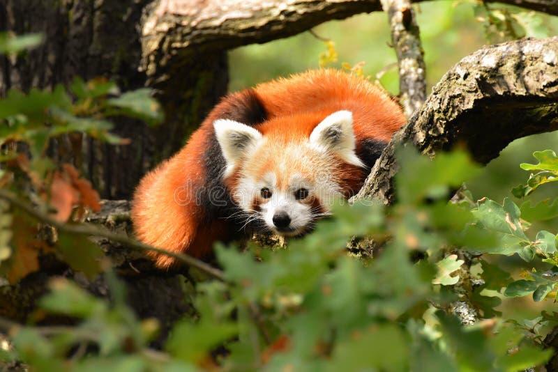 Panda vermelha que senta-se na árvore, fulgens do Ailurus, pouca panda, o urso-gato vermelho, o gato-urso vermelho imagens de stock