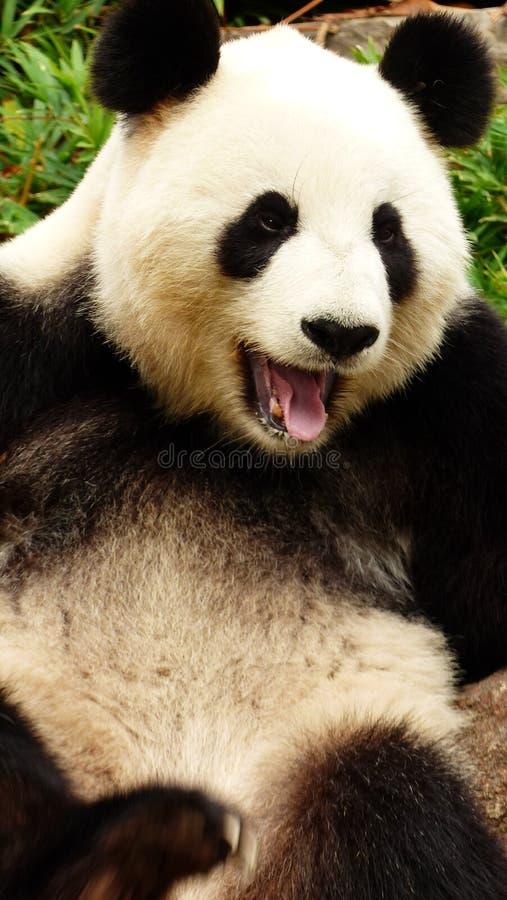 PANDA YAWNING. A SLEEPY PANDA YAWNS FOR THE CAMERA stock photos