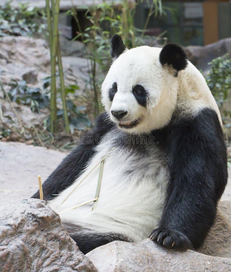 Pandabär, der Bambus isst stockfoto
