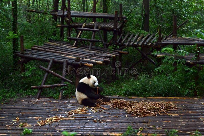Pandabjörn: arguably symbolen av Chengdu eller även Sichuan Provin royaltyfria foton