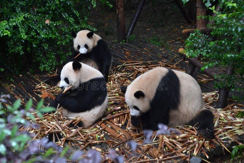 Pandabjörn: arguably symbolen av Chengdu eller även Sichuan Provin arkivbilder