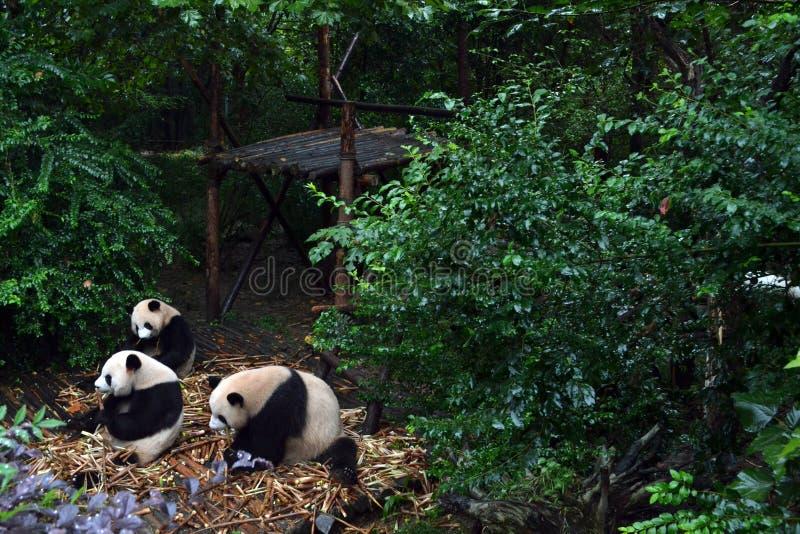 Pandabjörn: arguably symbolen av Chengdu eller även Sichuan Provin royaltyfri fotografi