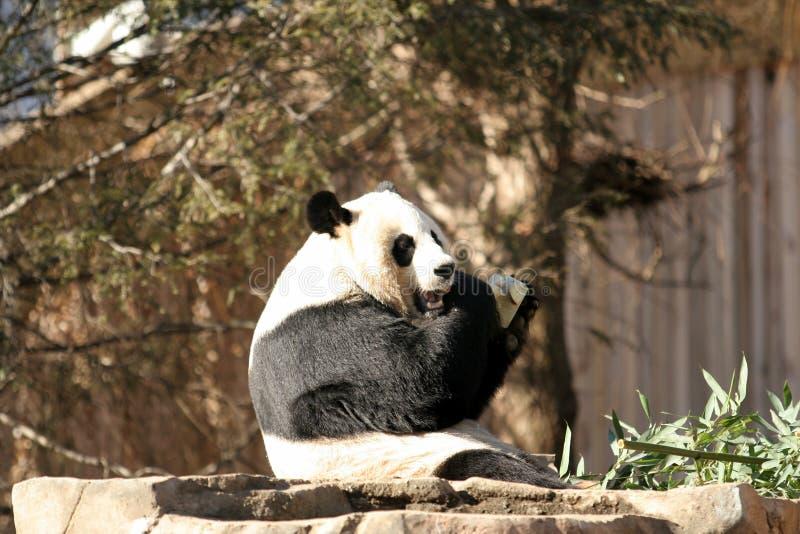 Pandaessen stockbild