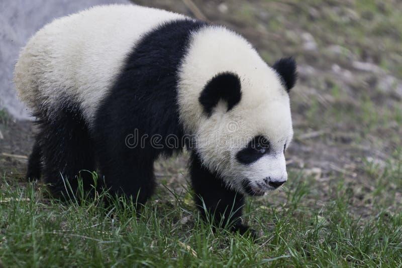 Pandagröngöling arkivfoto
