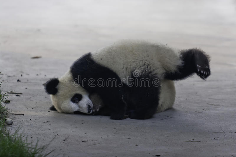Download Pandagröngölingar arkivfoto. Bild av gröngöling, angus - 27278258